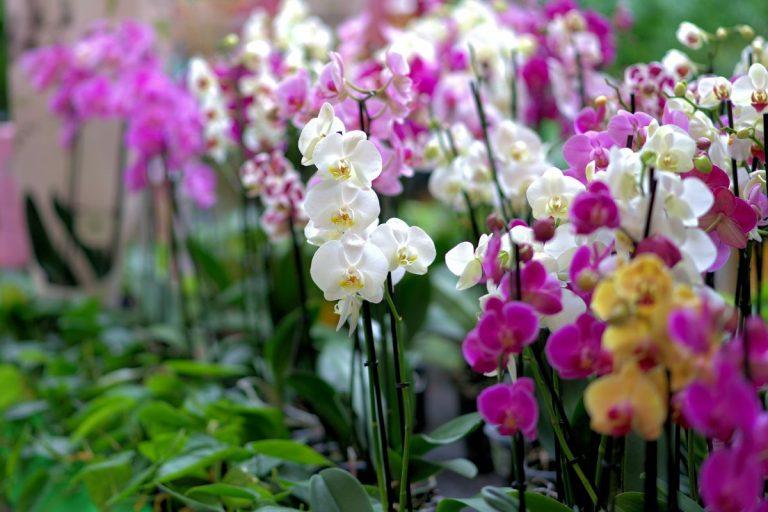 Orquídeas: cuidados cuando caen las flores