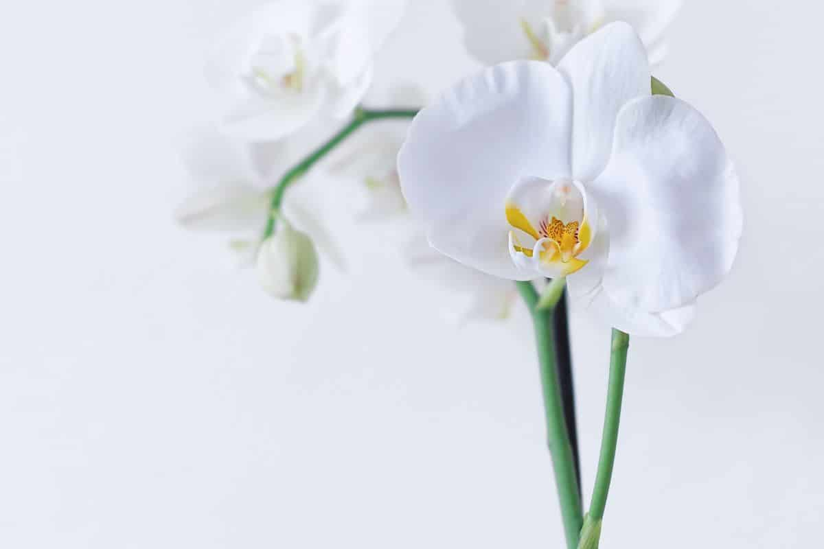 ¿Cuándo florecen las orquídeas?