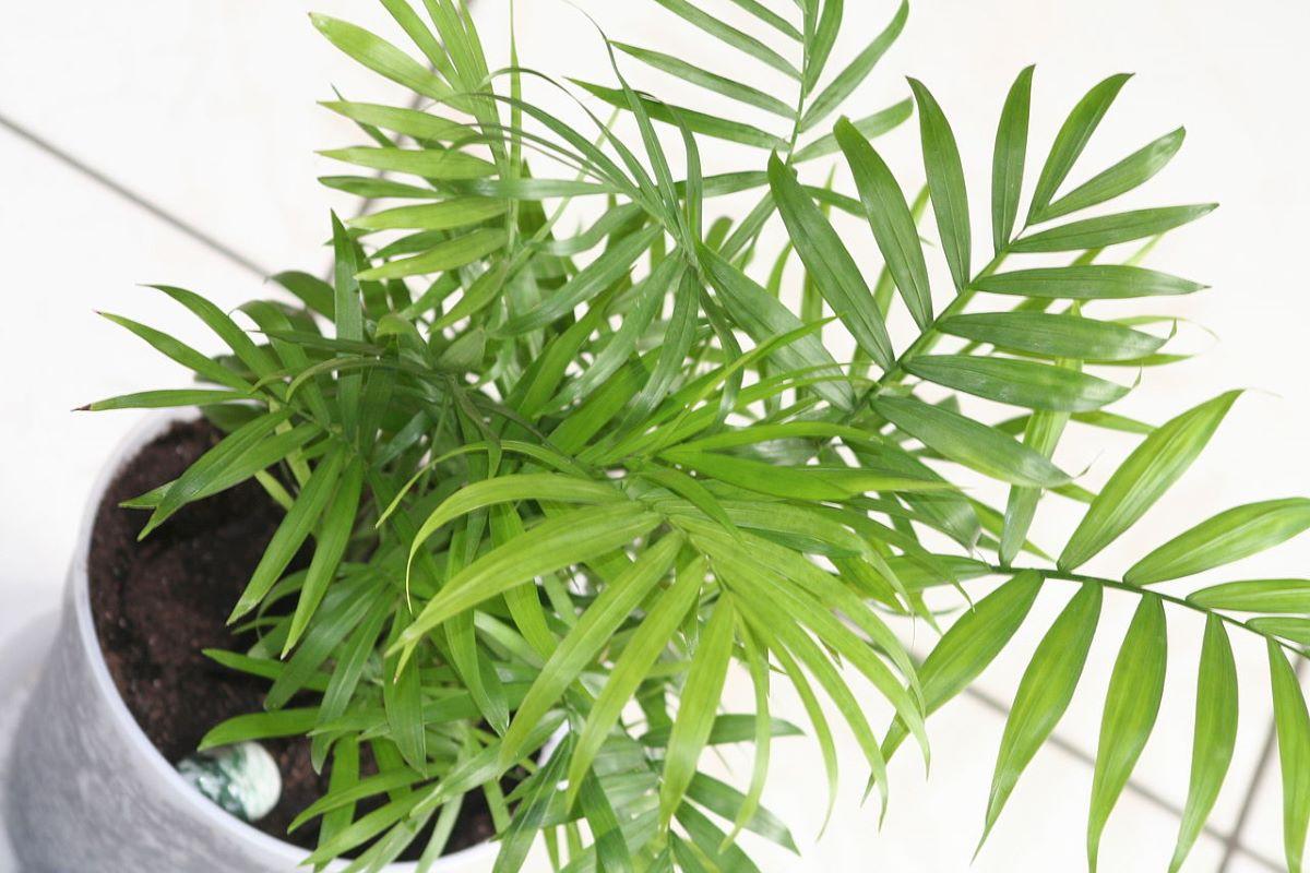 La palmera de salón es una planta que crece bien en casa