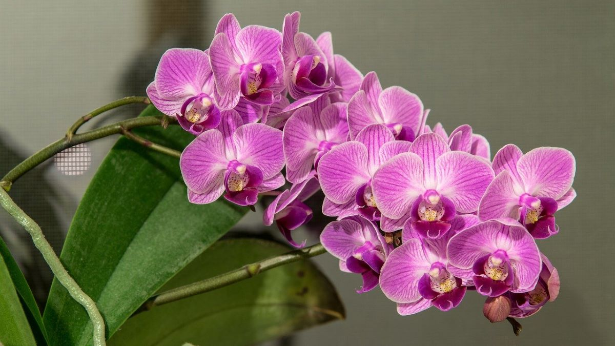 Las Phalaenopsis son orquídeas tropicales