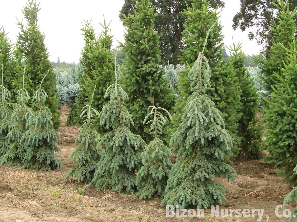 La Picea glauca es una conífera de lento crecimiento
