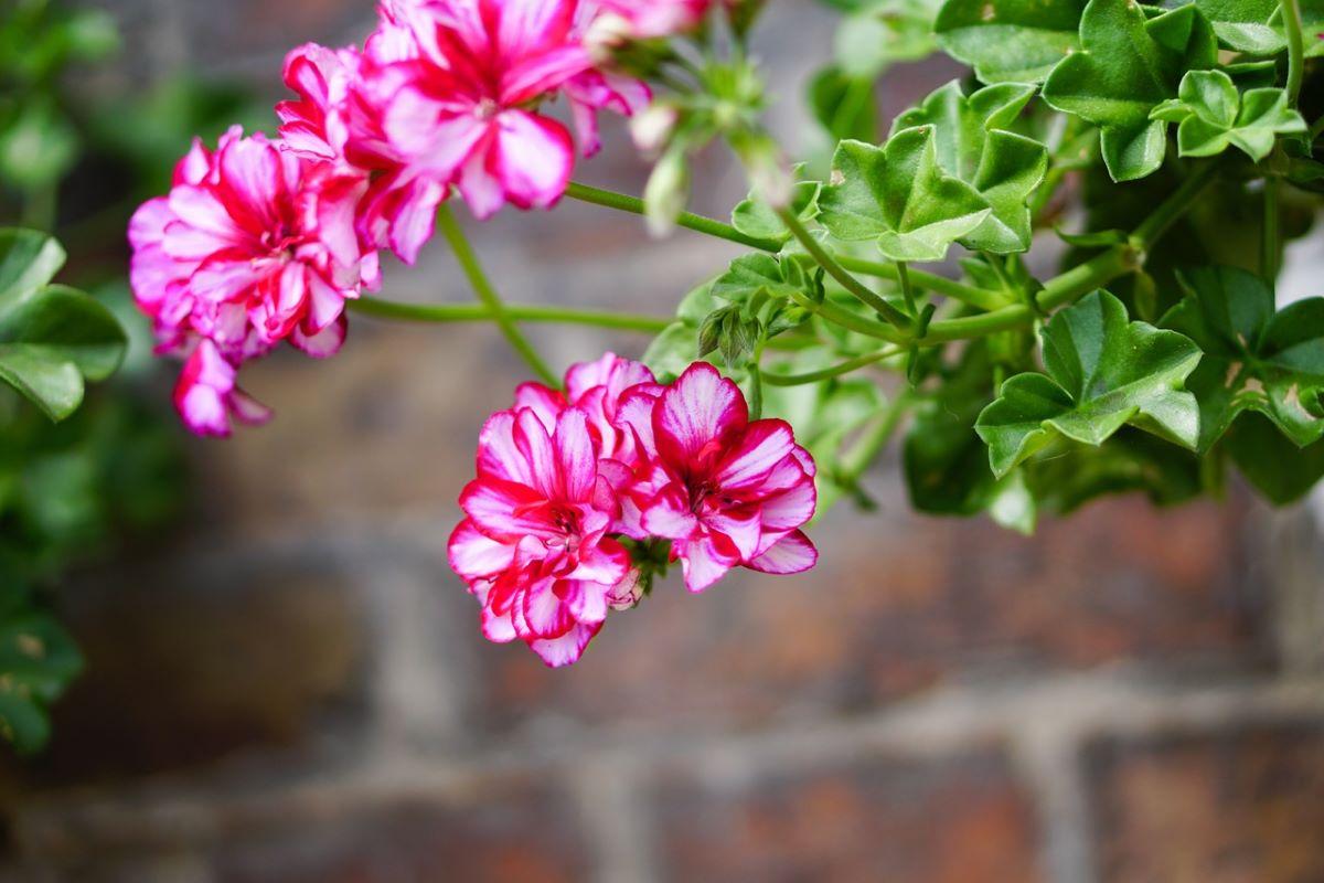 La planta de geranio es perenne