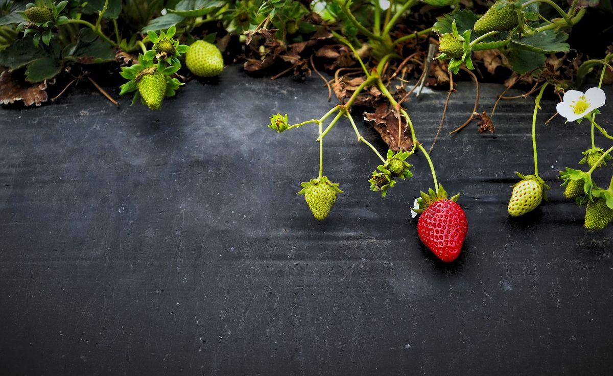 Cómo plantar fresas en tubo horizontal