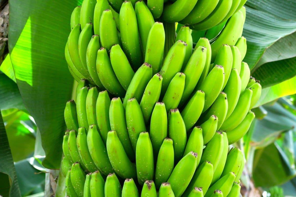 Los plátanos se consumen crudos o cocinados