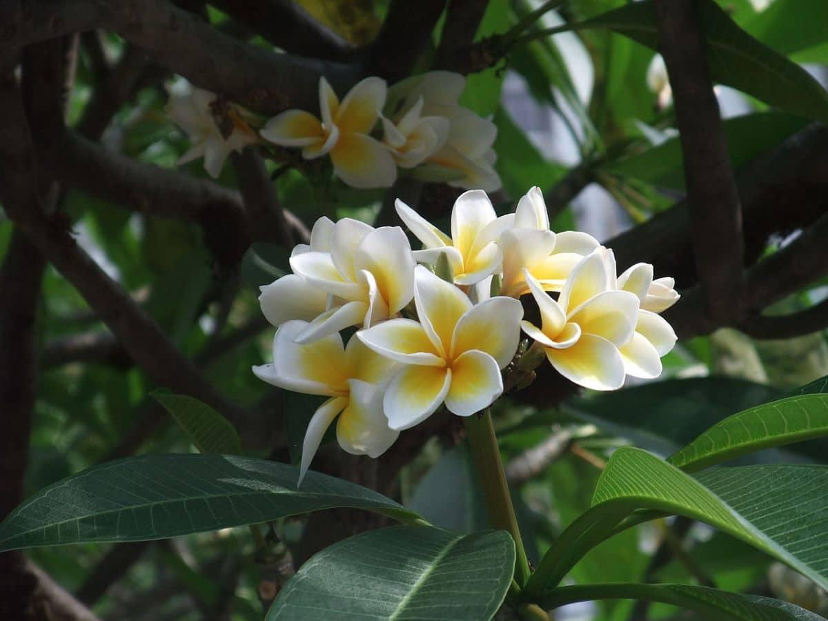La Plumeria rubra es un arbusto tropical