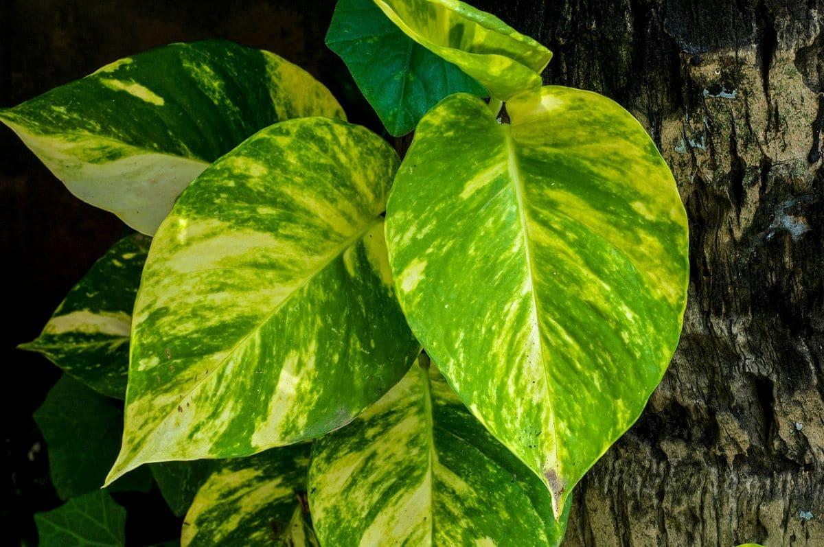 El potos es una trepadora perennifolia