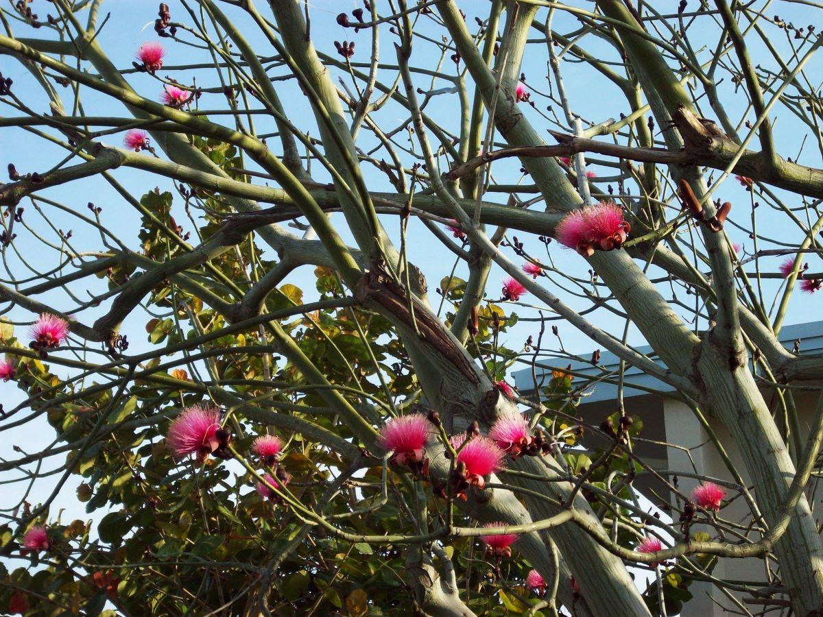 El Pseudobombax ellipticum es un árbol de lento crecimiento