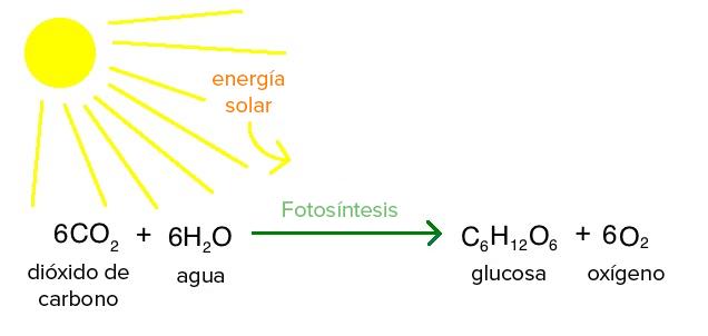 La fotosíntesis es un proceso de las plantas