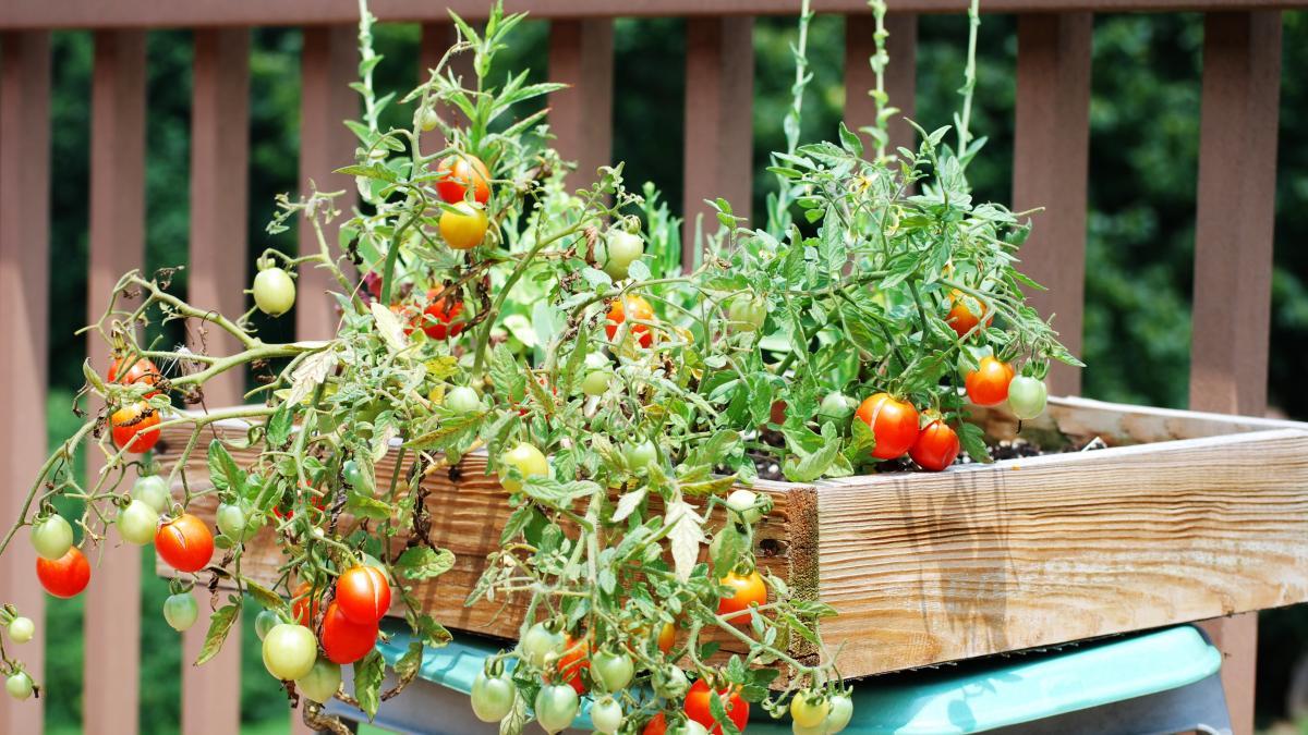 regar tomates en maceta y cuidados