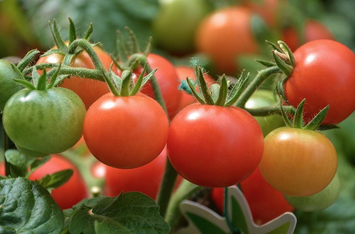 regar tomates en maceta