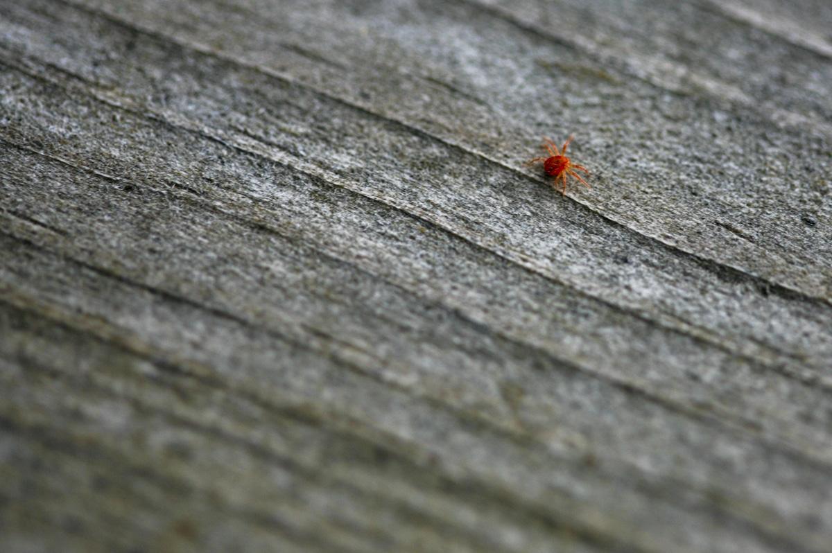 La araña roja es un ácaro que ataca a las plantas