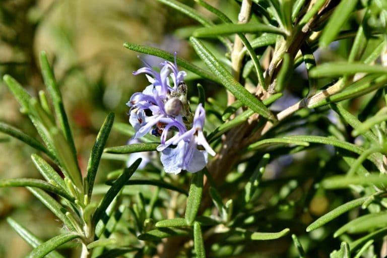 El romero es una planta aromática con hojas pequeñas