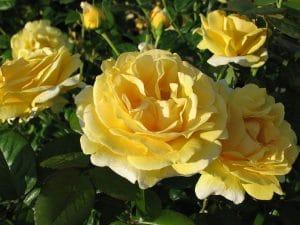 El rosal Michelangelo huele muy bien