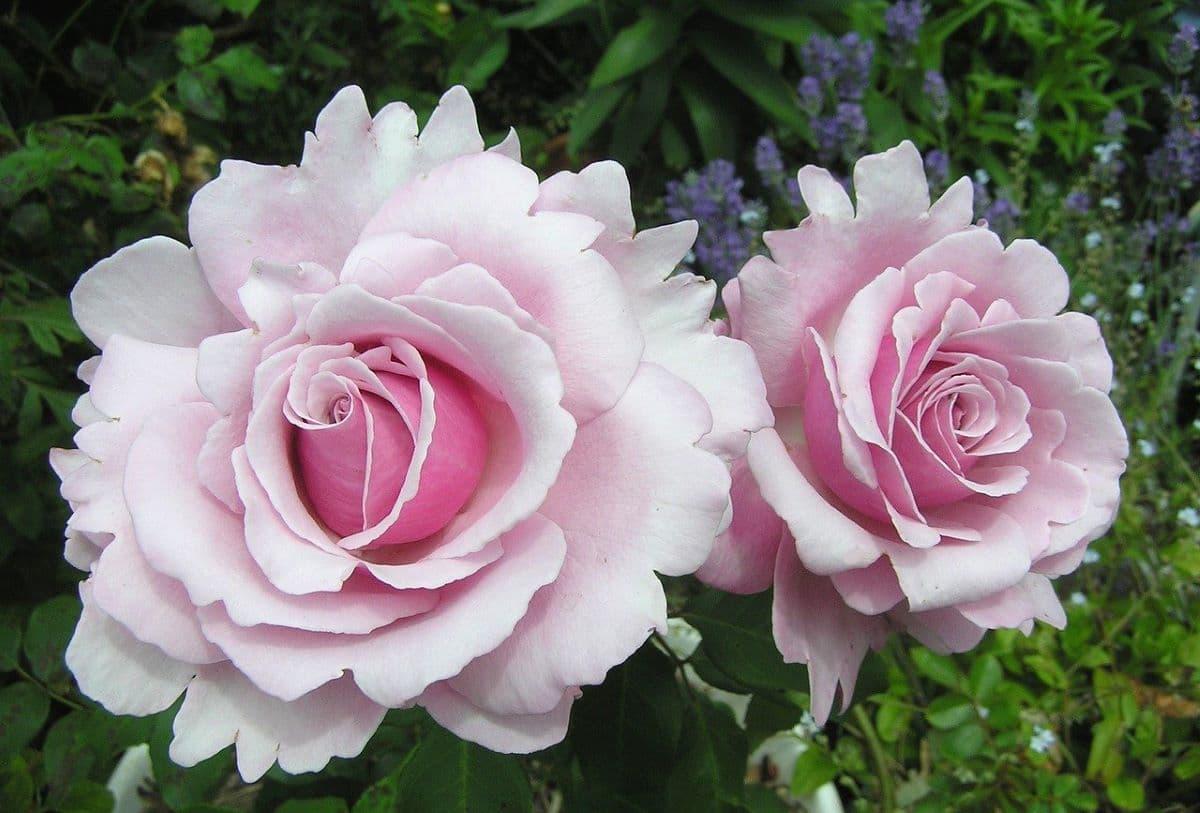 Hay rosales con buen olor