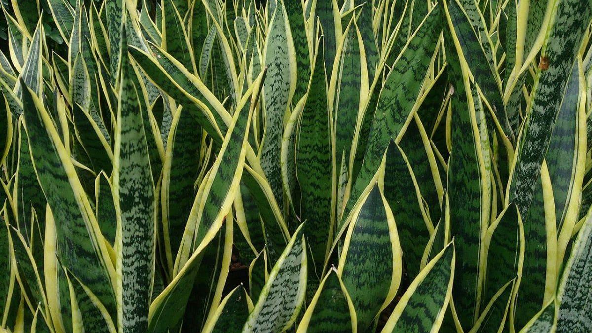 La sansevieria es una planta con hojas verdes