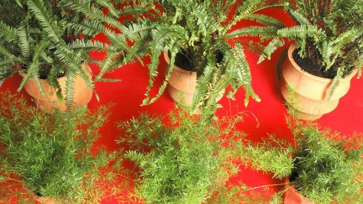 variedades de esparragueras
