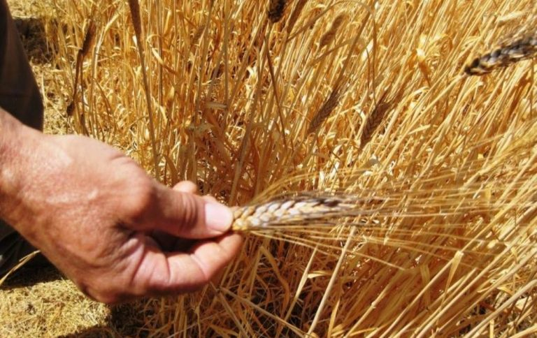 variedades de trigo agricultura