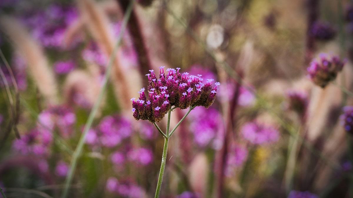 Entre las plantas con flores se encuentra la verbena