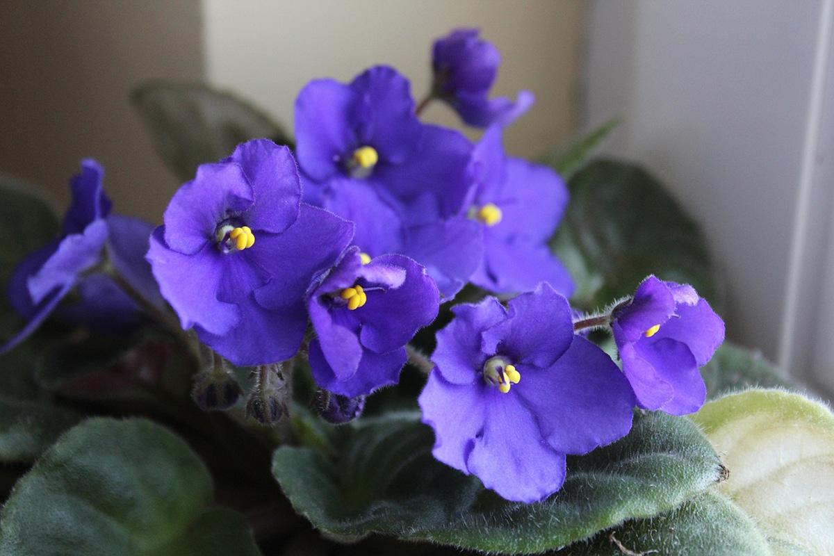 La violeta africana necesita mucha luz
