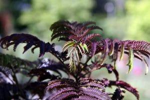 La Albizia julibrissin Summer Chocolate es una planta morada