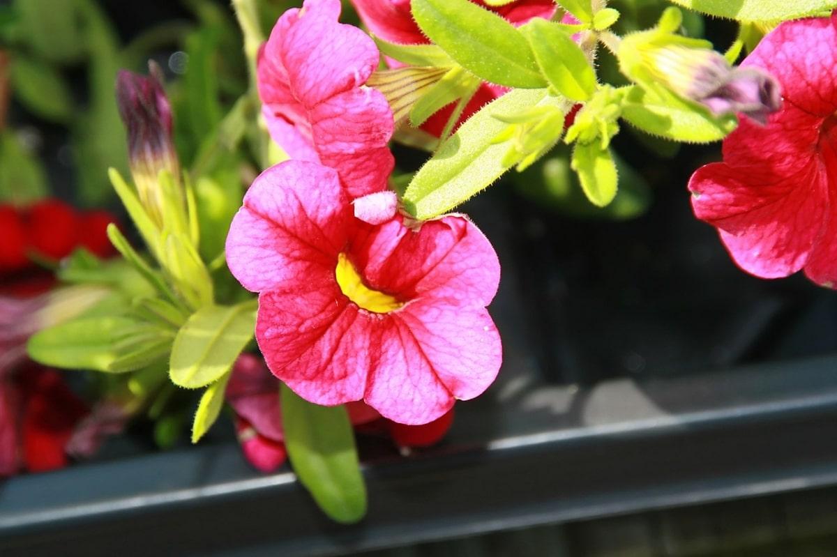 La Calibrachoa hybrida es una planta sensible al frío
