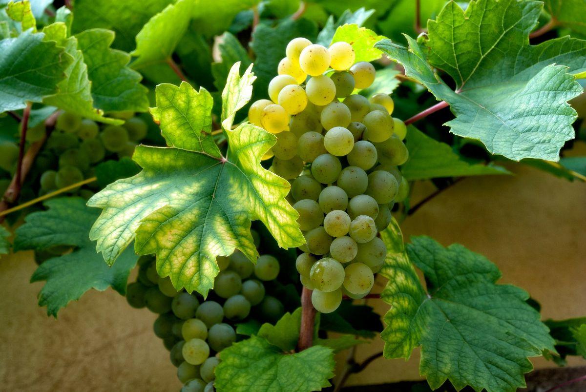 Cuándo plantar las semillas de uvas