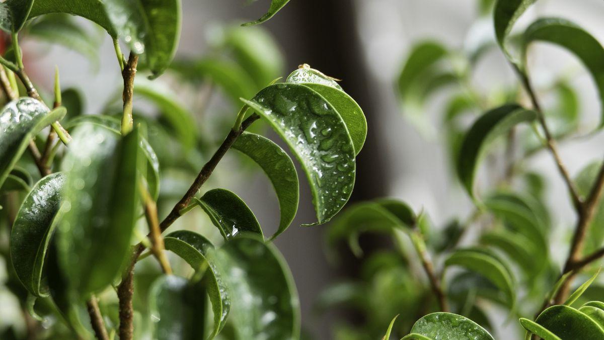 Cómo regar un bonsái ficus
