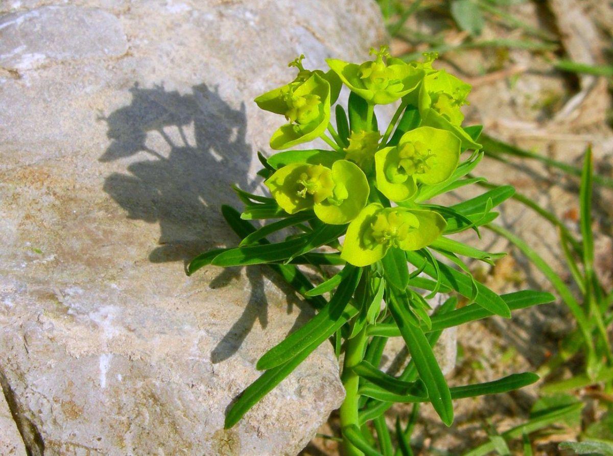 Cuidados de la Euphorbia cyparissias