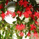 Las hatioras son cactus epífitos de interior