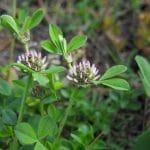 El Trifolium es un género de tréboles