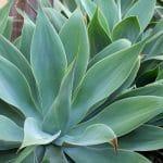 El agave es una planta cam