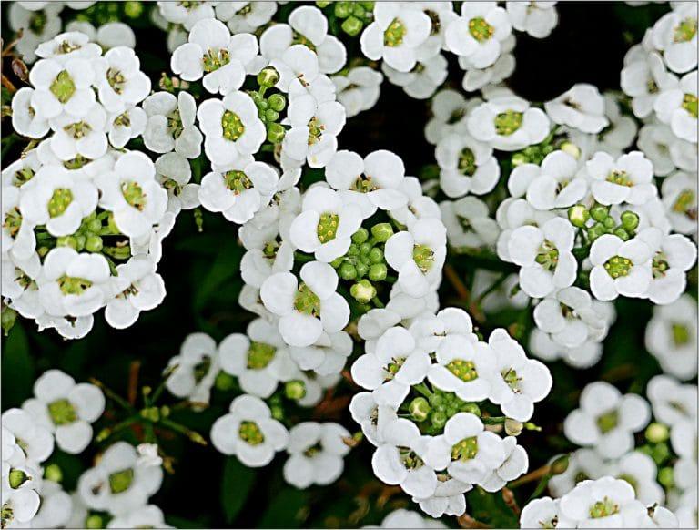 El Alyssum maritimum es una planta herbácea