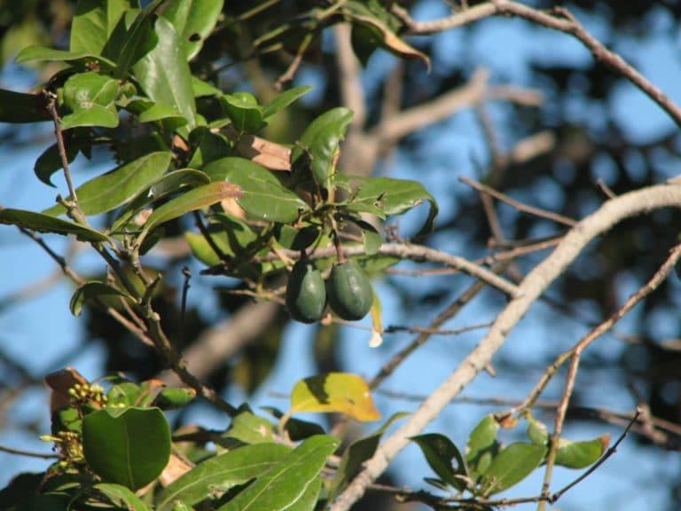 Los frutos de la Apollonias barbujana son similares a las aceitunas