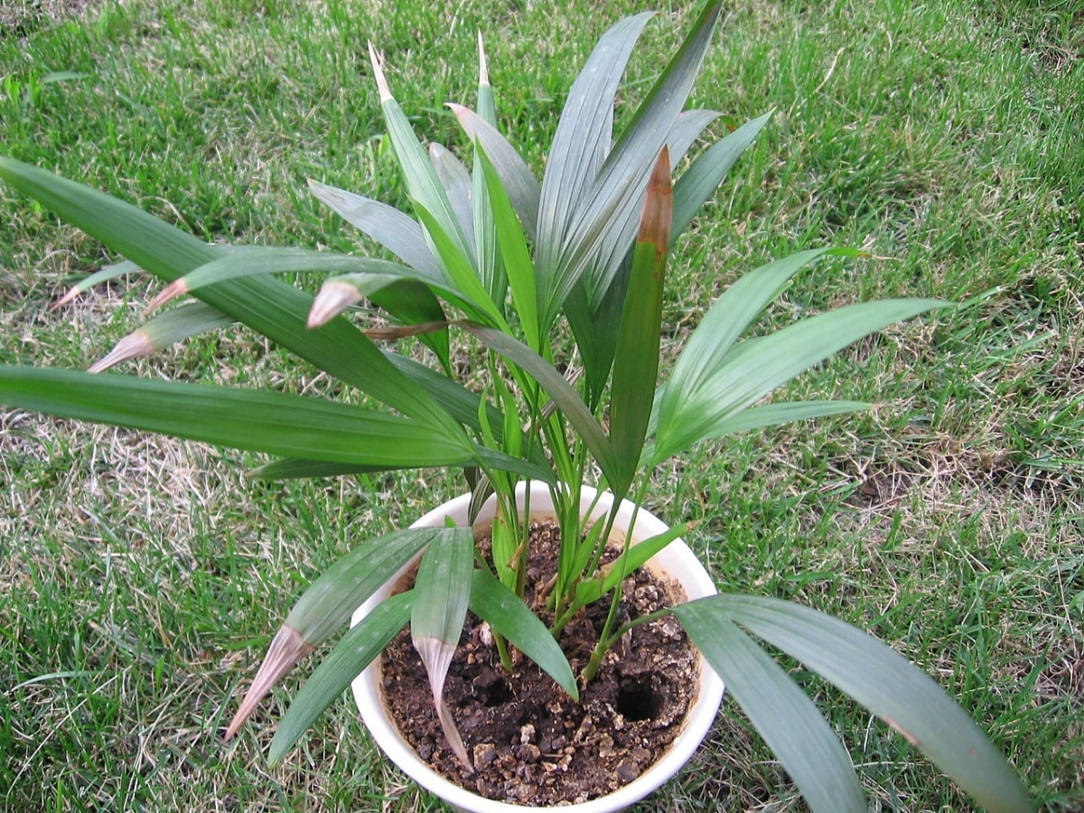La palmera areca es fácil de cuidar