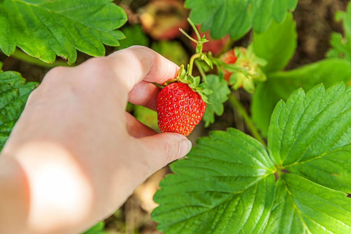 aspectos en el cuidado de las fresas