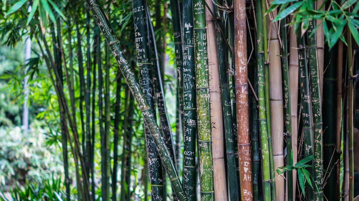 El bambú es una planta de exterior desconocida