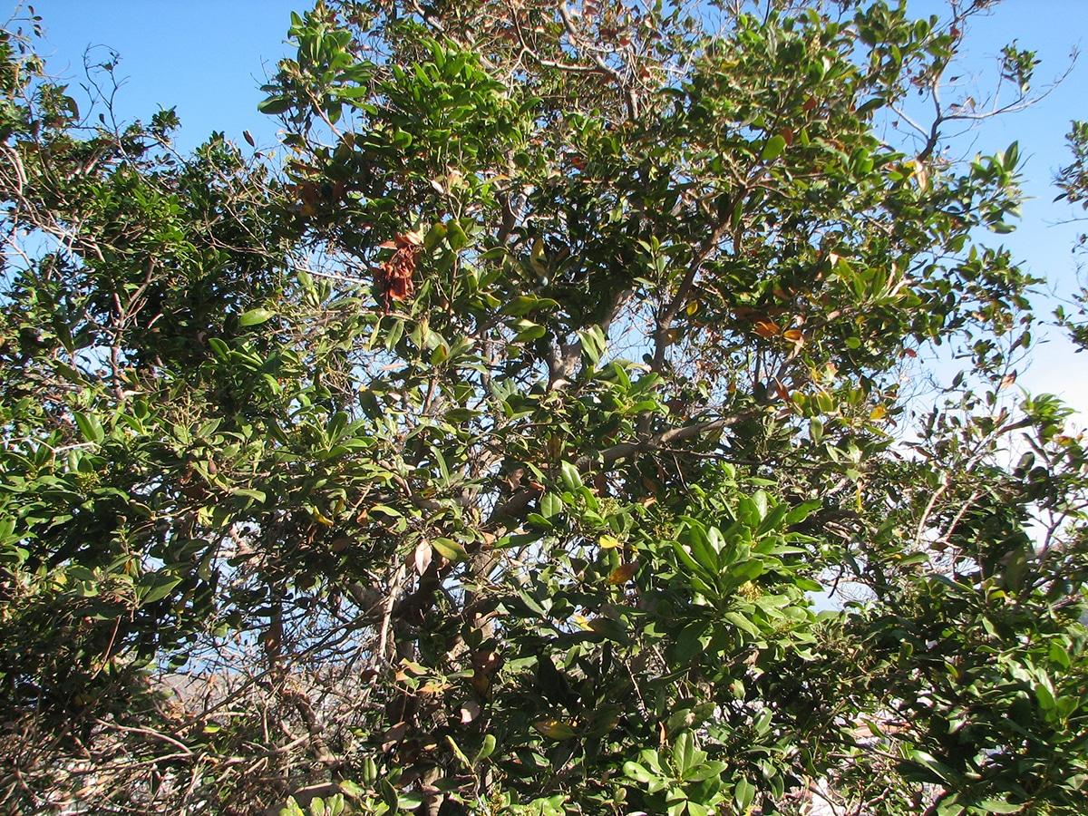 La Apollonias barbujana es un árbol con flore y frutos