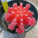 El cactus chin a veces se vende injertado
