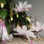 El cactus de navidad se pueden cultivar en interior
