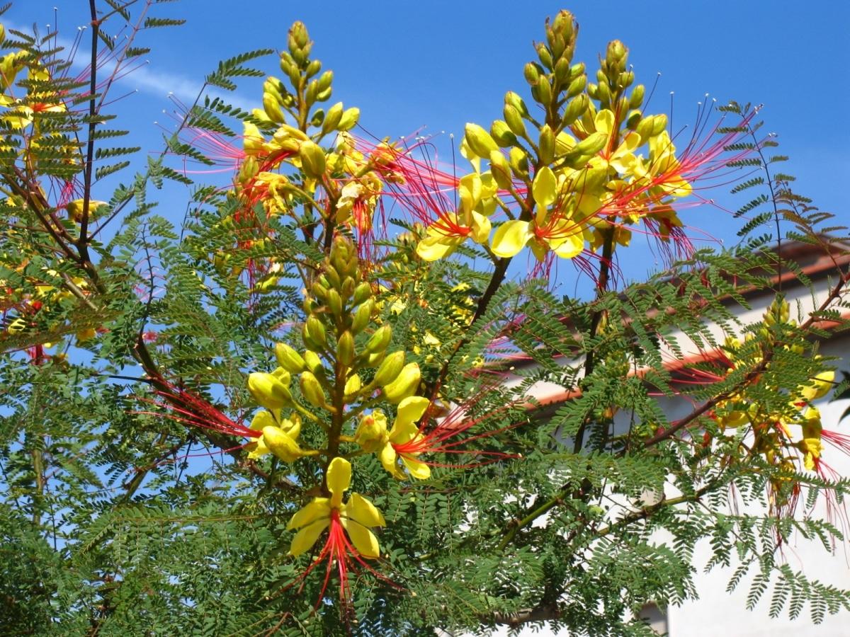 La Caesalpinia gilliesi es un arbusto leguminoso