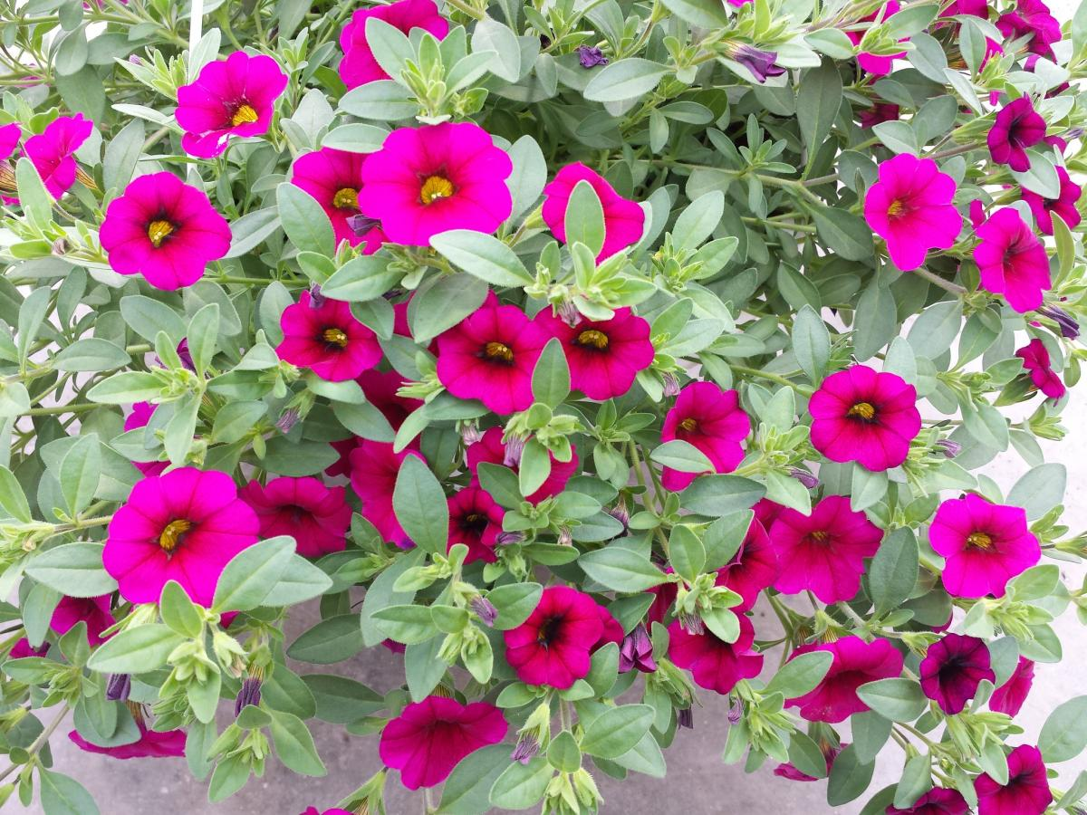 La Calibrachoa hybrida produce muchas flores
