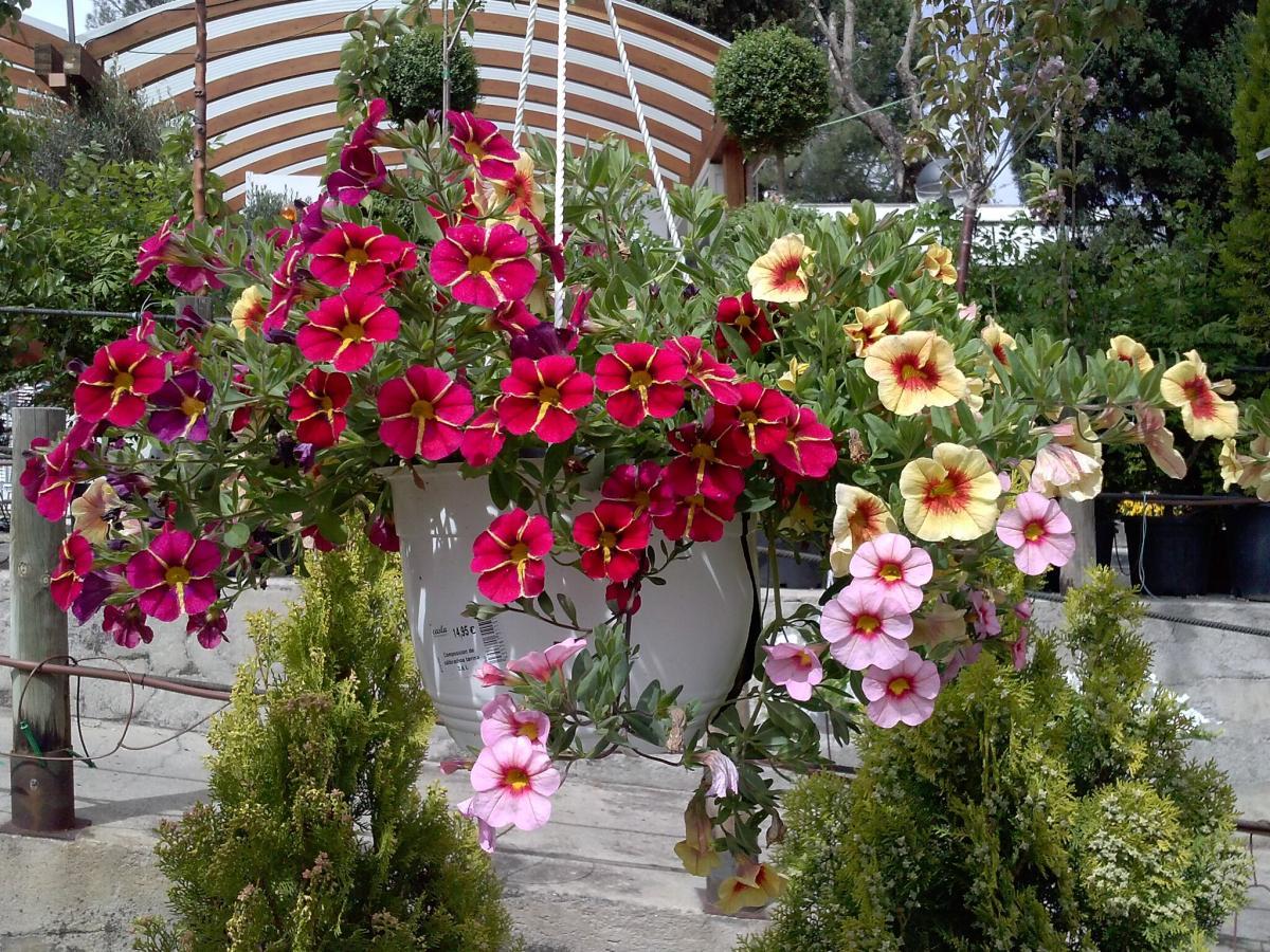 Las Calibrachoa hybrida florecen en primavera y verano