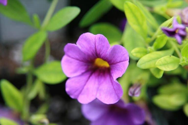 La Callibrachoa hybrida es una hierba de flores preciosas