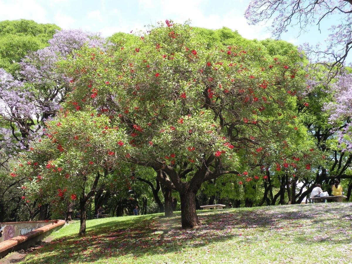 El ceibo es un árbol de las leguminosas que tiene flores rojas