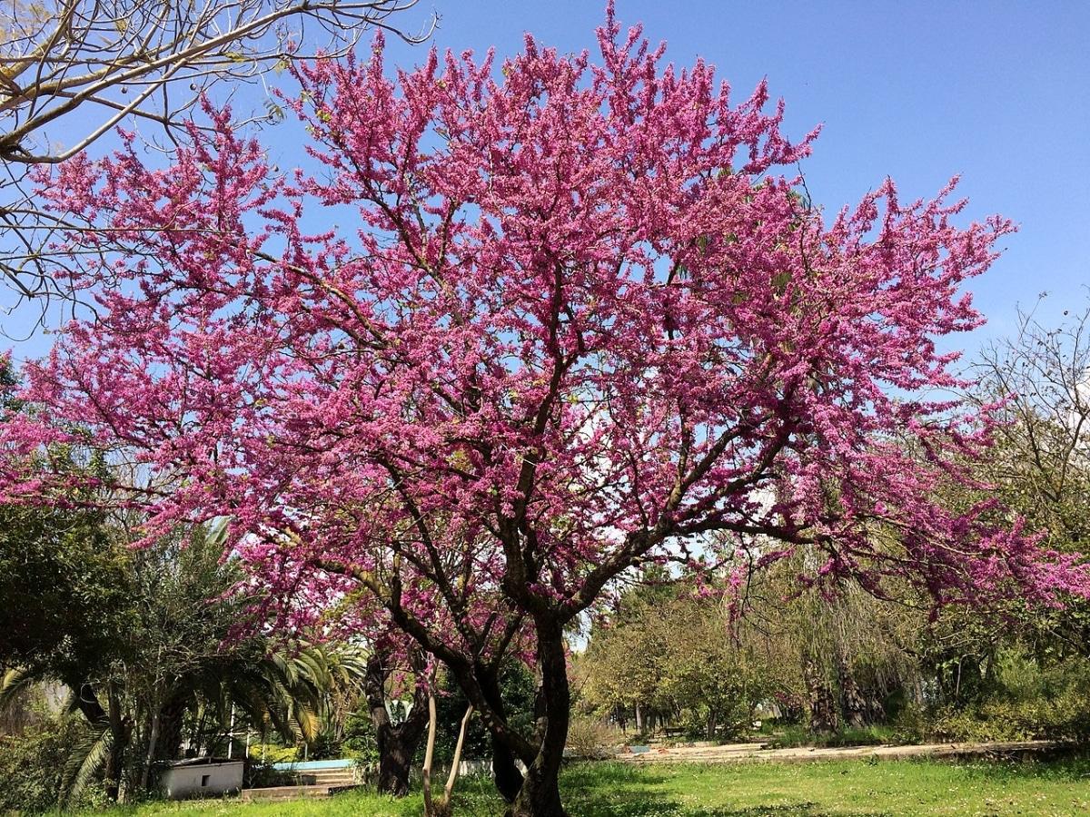El Cercis siliquastrum es un árbol de las leguminosas