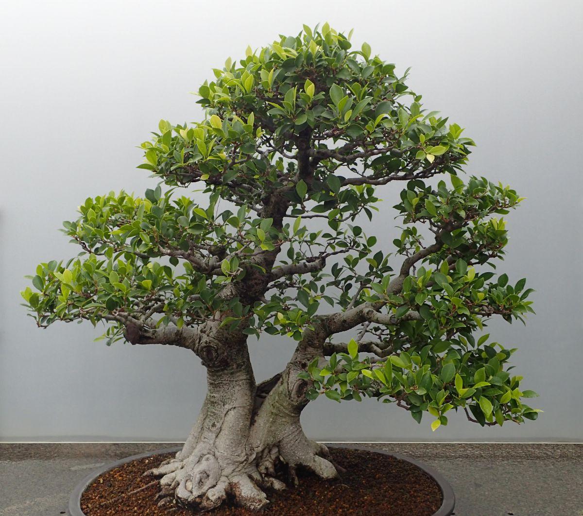 Si tienes tu ficus en una maceta de bonsái