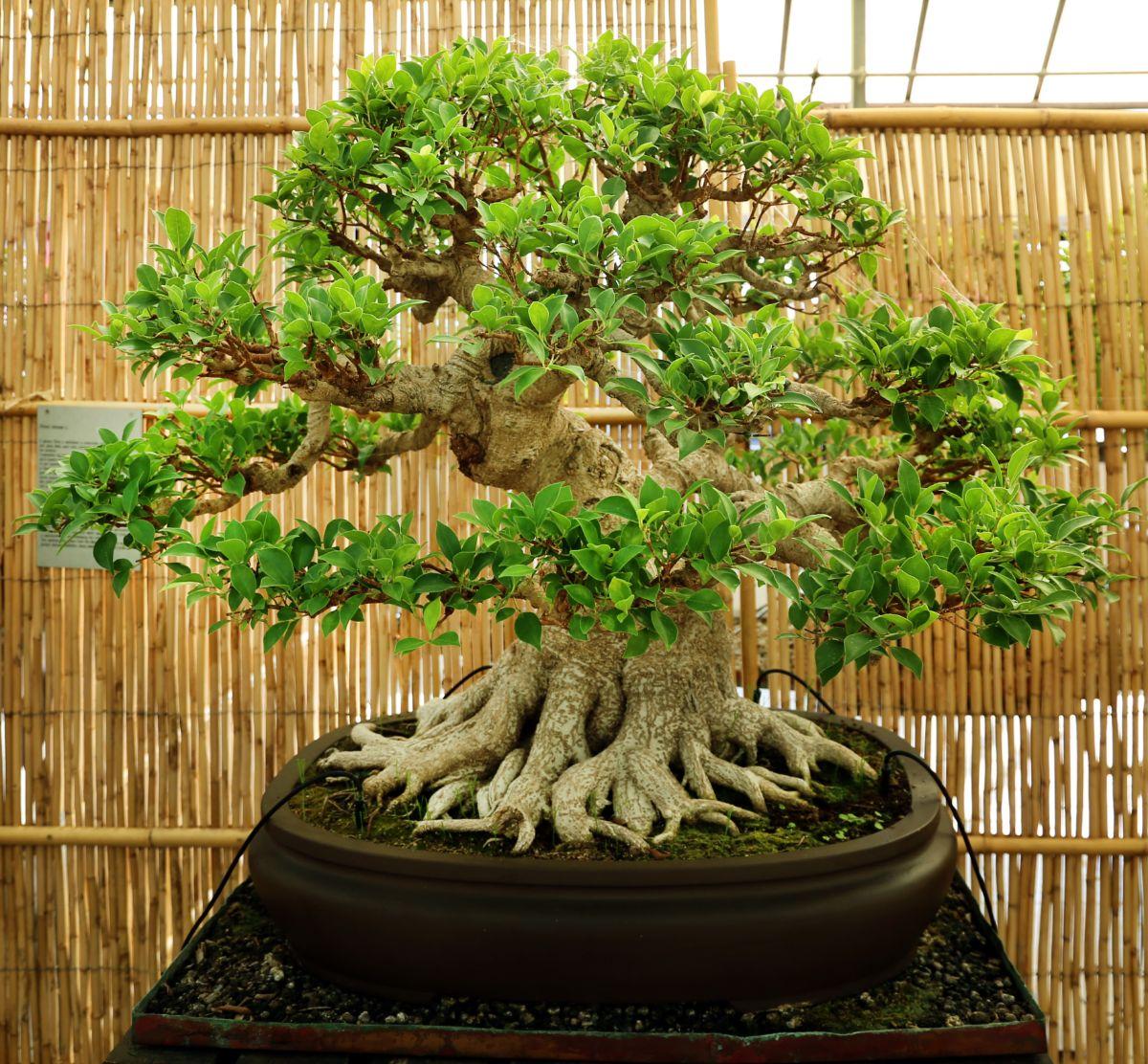 Un bonsái ficus, ¿cómo es?