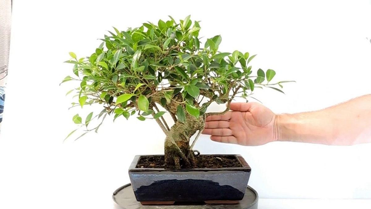 cuidados de los bonsais