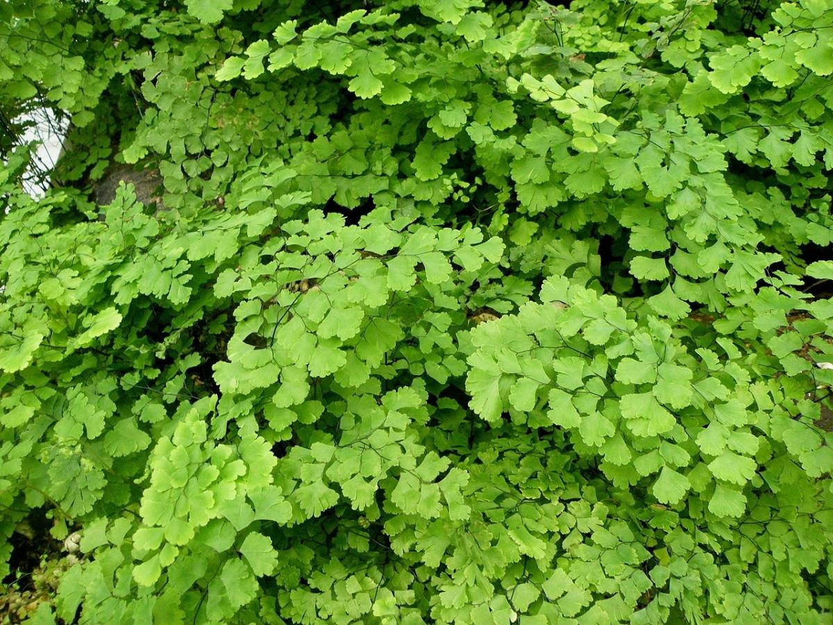 El culantrillo de pozo tiene las hojas muy pequeñas