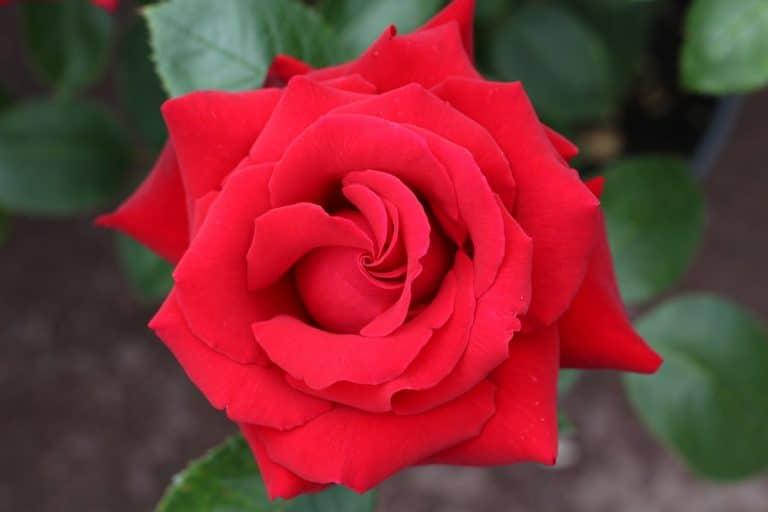 Se puede utilizar una pata para plantar un esqueje de rosal